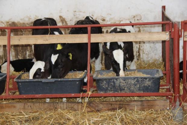 Dlaczego mleko nie jest najważniejszym pokarmem dla cieląt?