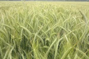Dywersyfikacja upraw nie taka straszna?