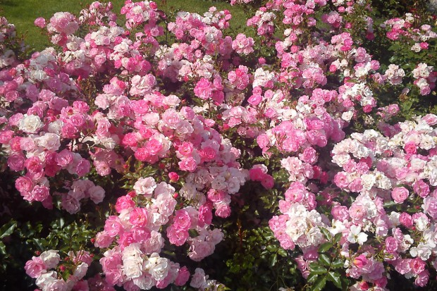 Róże w ogrodzie, cz.2