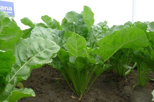 Monitorowanie upraw buraków pod względem wystąpienia chorób liści