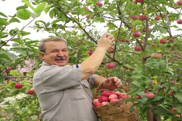 Związek Sadowników: zbiory owoców będą gorsze niż w ubiegłym roku