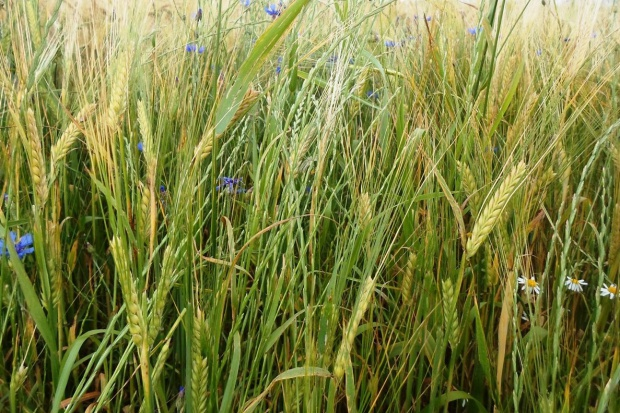 Desykacja zbóż - kiedy jest konieczna