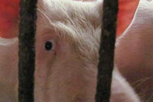 Kolejnych pięć dzików zarażonych afrykańskim pomorem świń
