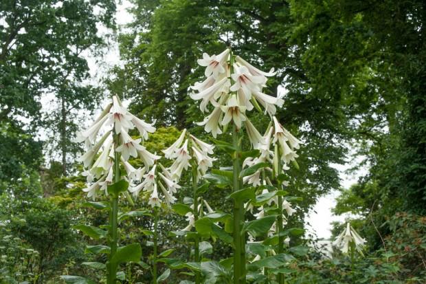 Gigantyczna lilia himalajska w ogrodzie