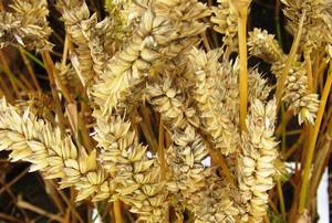 Szacowane zbiory pszenicy i jęczmienia w UE