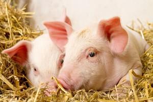 Rosja protestuje w WTO przeciw panelowi ws. embarga na wieprzowinę