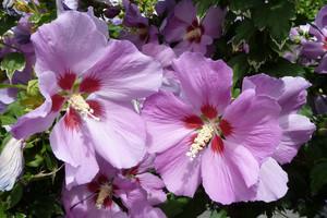Ketmia syryjska – krzew kwitnący latem