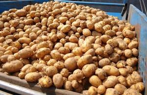 Zbiory ziemniaków wczesnych