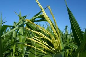 Wiechowanie kukurydzy