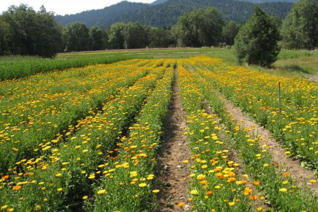 Uprawa ziół – dodatkowy biznes
