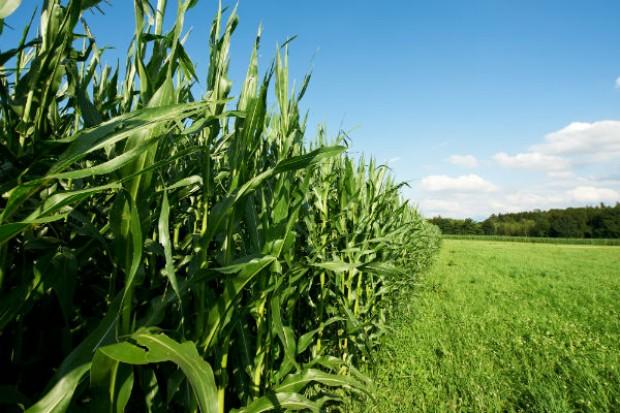 KE: UE nakłada cło importowe na kukurydzę, sorgo i żyto