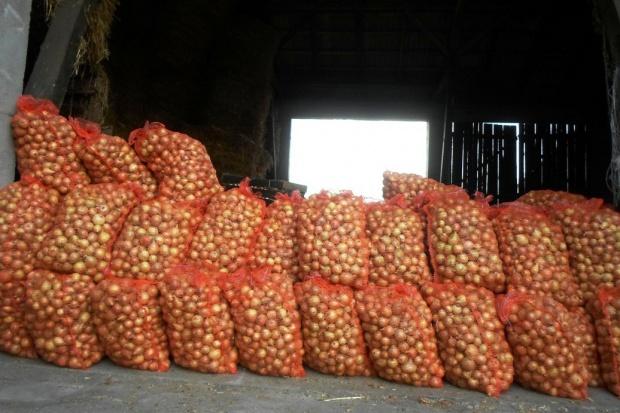 Rozpoczęły się zbiory cebuli