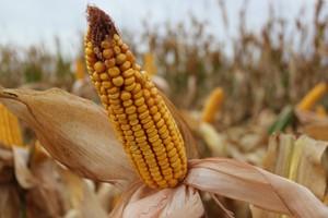 Silny spadek ceny kukurydzy