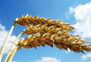 Obawa o jakość pszenicy ozimej zbieranej w Europie Zachodniej