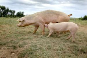ASF u dwóch świń w powiecie białostockim