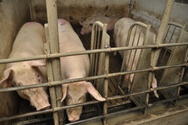 Likwidacja i utylizacja świń - od poniedziałku