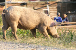 Zaczęła się utylizacja świń w pobliżu miejsca wykrycia ASF
