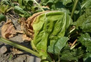 Uszkodzone liście buraka cukrowego