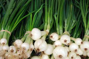 Ozima uprawa cebuli