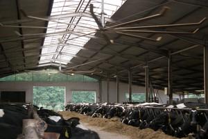 Korzyści chłodzenia krów w miesiącach letnich