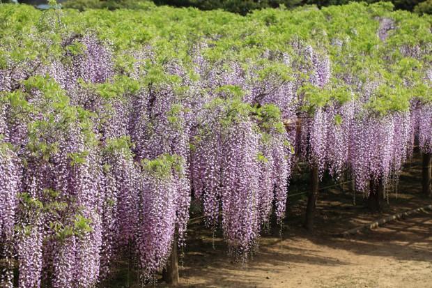 Jak pobudzić glicynię do kwitnienia?