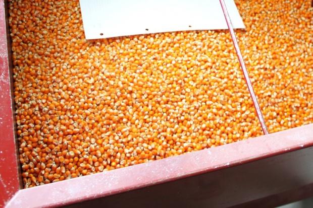 Rekordowa powierzchnia zasiewów kukurydzy nasiennej w UE