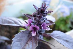 Bazylia - kolorowa i aromatyczna roślina