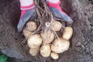Ceny ziemniaków niższe niż przed rokiem