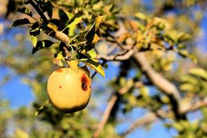 Owocówki – szkodniki jabłek i śliwek