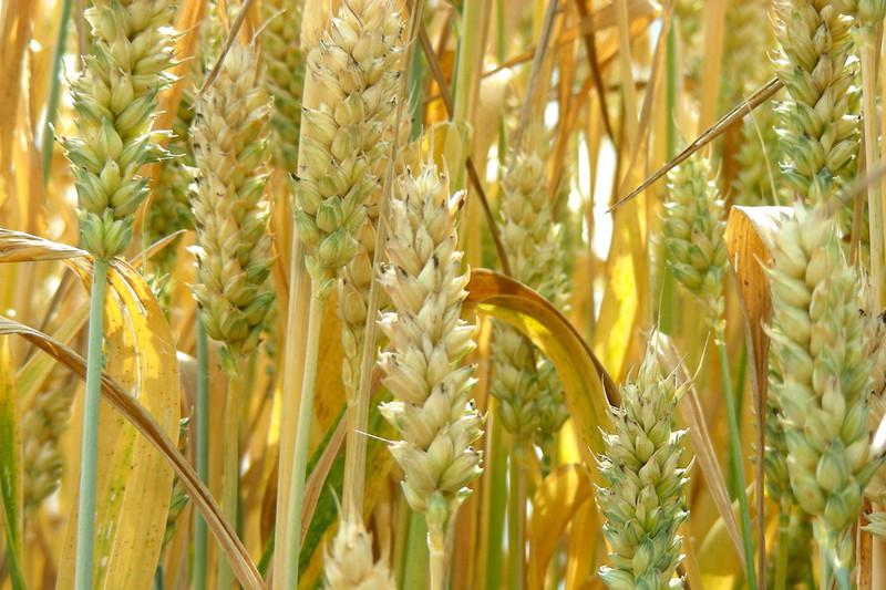 Najczęstsze błędy w uprawie zbóż