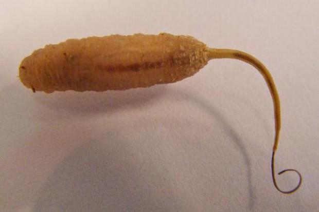 Gnojka wytrwała – częsty mieszkaniec obór, z podłogą szczelinową