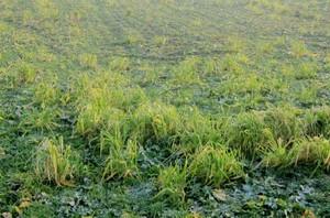 Zwalczyć samosiewy zbóż