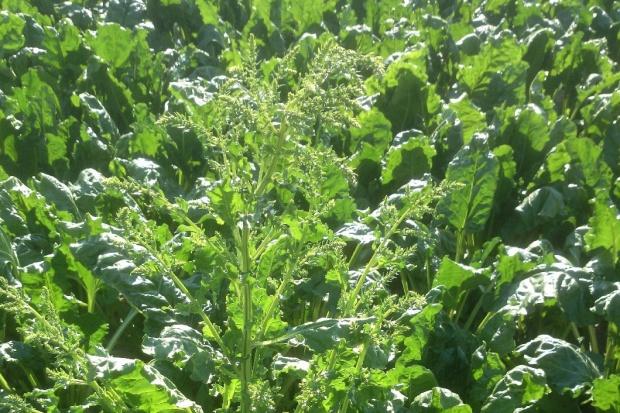 Chwasty, burakochwasty i pośpiechy należy usunąć z plantacji buraków cukrowych