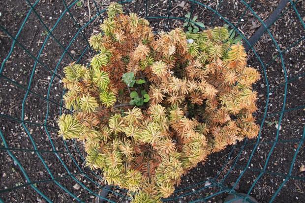 Najczęstsze choroby krzewów ozdobnych cz.1: Choroby pędów