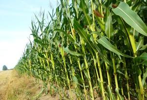 Trwa intensywny nalot chrząszczy zachodniej kukurydzianej stonki korzeniowej