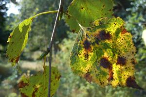 Najczęstsze choroby krzewów ozdobnych cz.2: Choroby liści