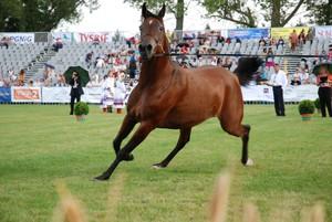 305 tys. euro za najdroższego konia na aukcji w Janowie Podlaskim