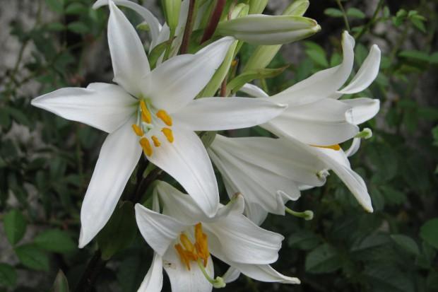 Lilia biała – nietypowa lilia