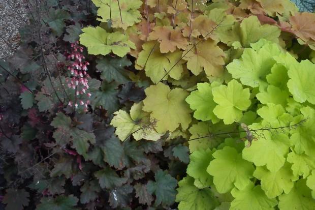 Barwne żurawki w ogrodzie
