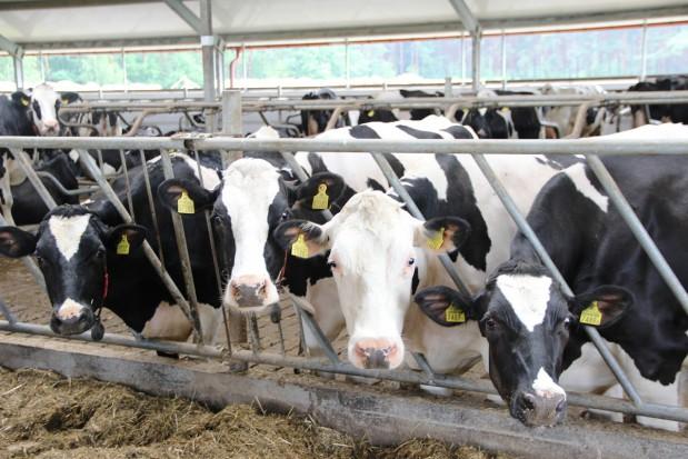 Stres cieplny i jego negatywne skutki w stadzie krów