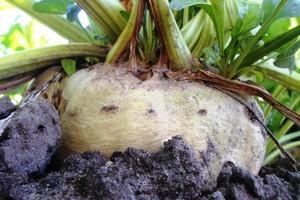 Szacowane zbiory oraz plony buraków cukrowych