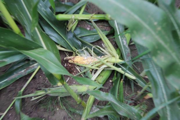 Dziki i omacnica szkodzą w kukurydzy na Podlasiu