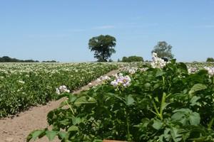 Nowy fungicyd do ochrony ziemniaka
