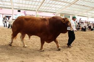 Za nami I Krajowa Wystawa Bydła Mięsnego w Sielinku