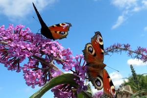 Budleja - motyli krzew