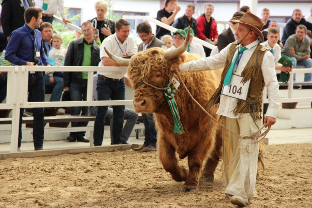 Highland cattle po polsku