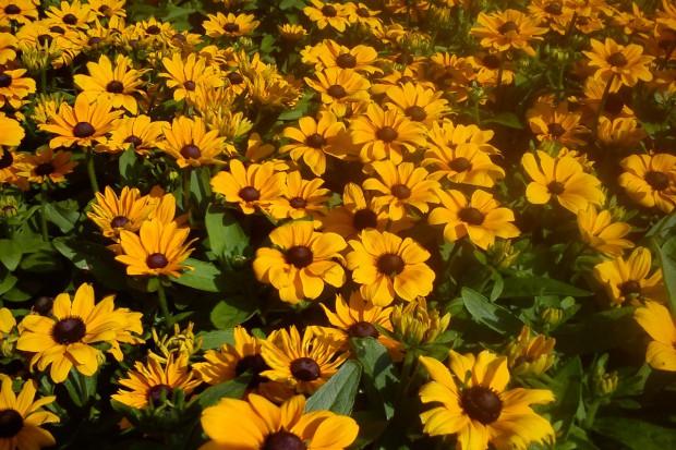 Rudbekie – słoneczne rośliny