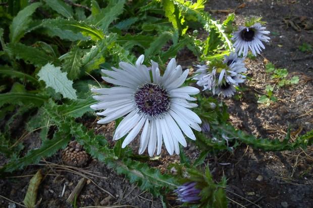 Kłujące rośliny ozdobne