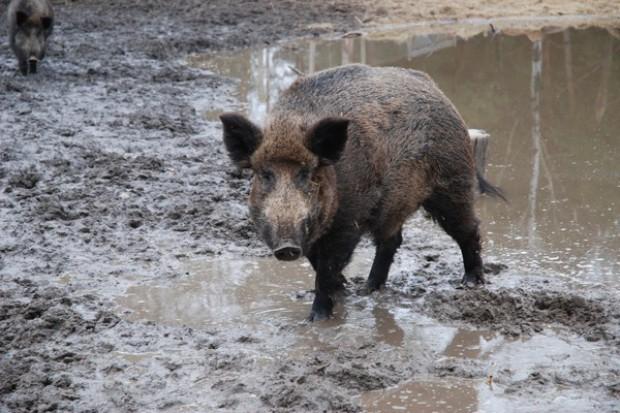 Rolnicy nie kończą protestu ws. szkód dzików na polach