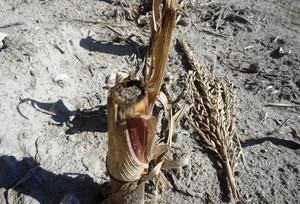 Uprawa ścierniska po kukurydzy na kiszonkę